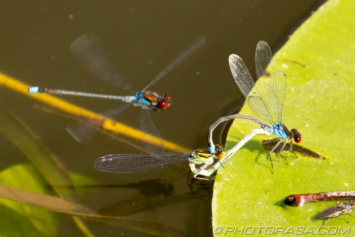 damsel flies attacked while  mating