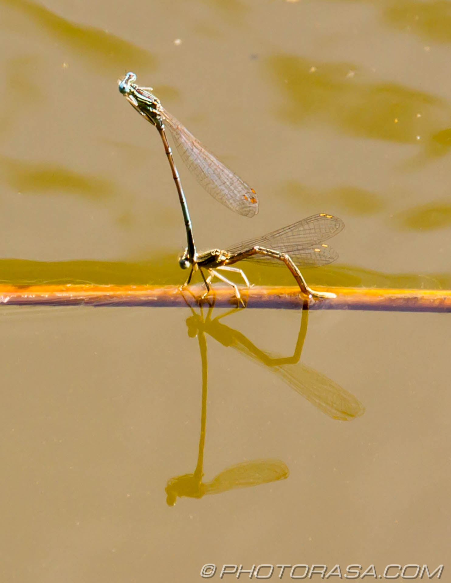 https://photorasa.com/damselflies/damselflies-mating/