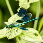 demoiselle with opened wings