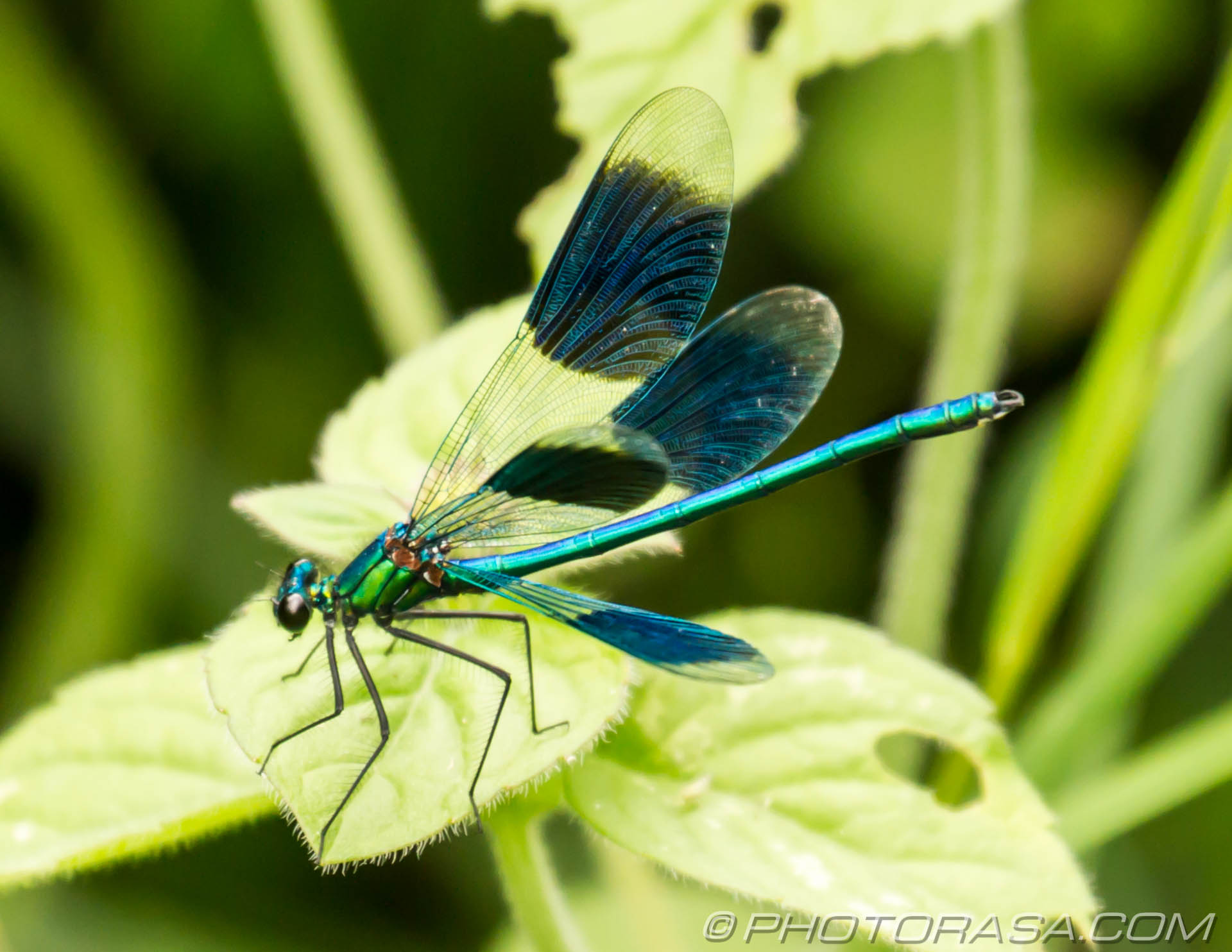 https://photorasa.com/damselflies/demoiselle-with-opened-wings/