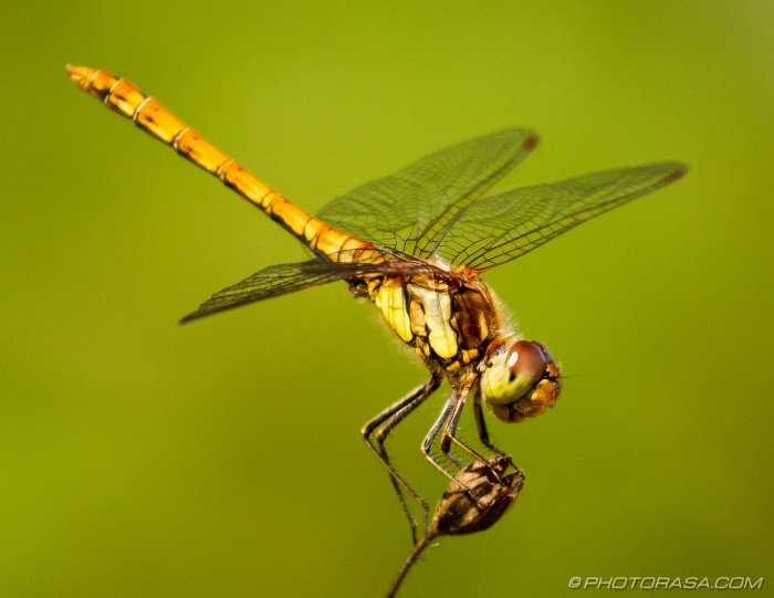 female common darter dragonflies