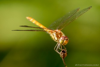 female common darter perched on flower