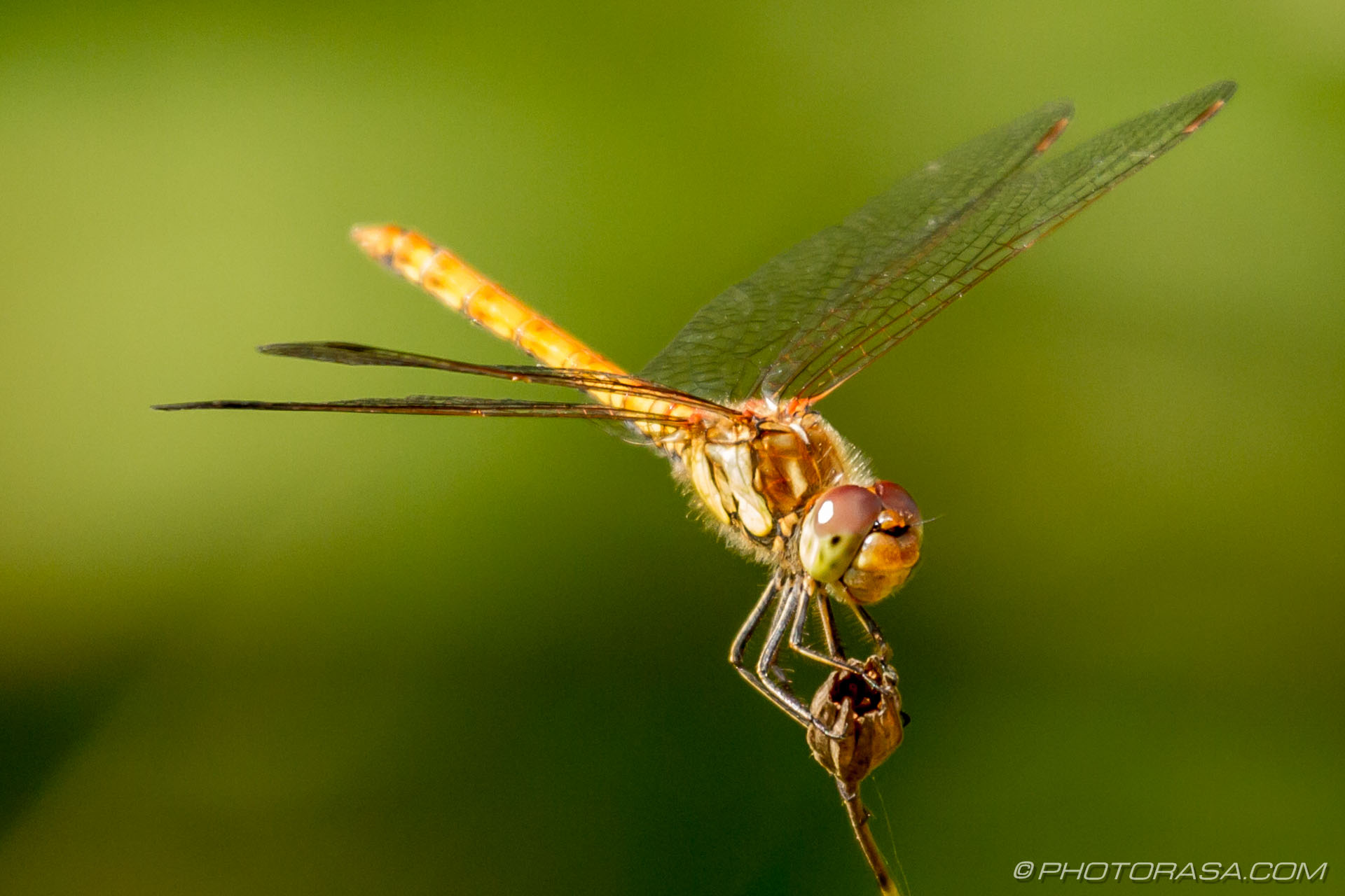 http://photorasa.com/dragonflies/female-common-darter-perched-on-flower/