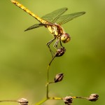 female common darter perched on plant 2