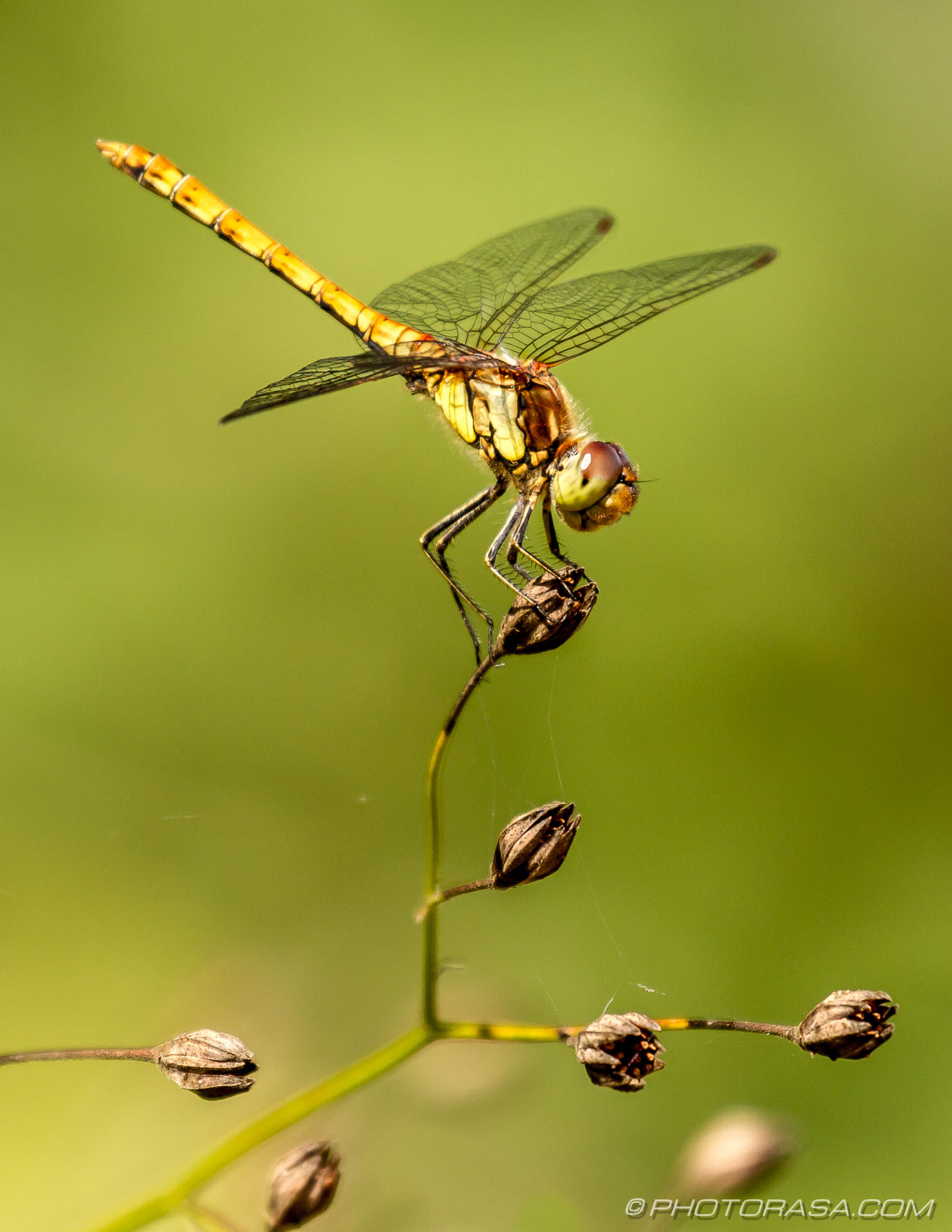 http://photorasa.com/dragonflies/female-common-darter-perched-on-plant-2/