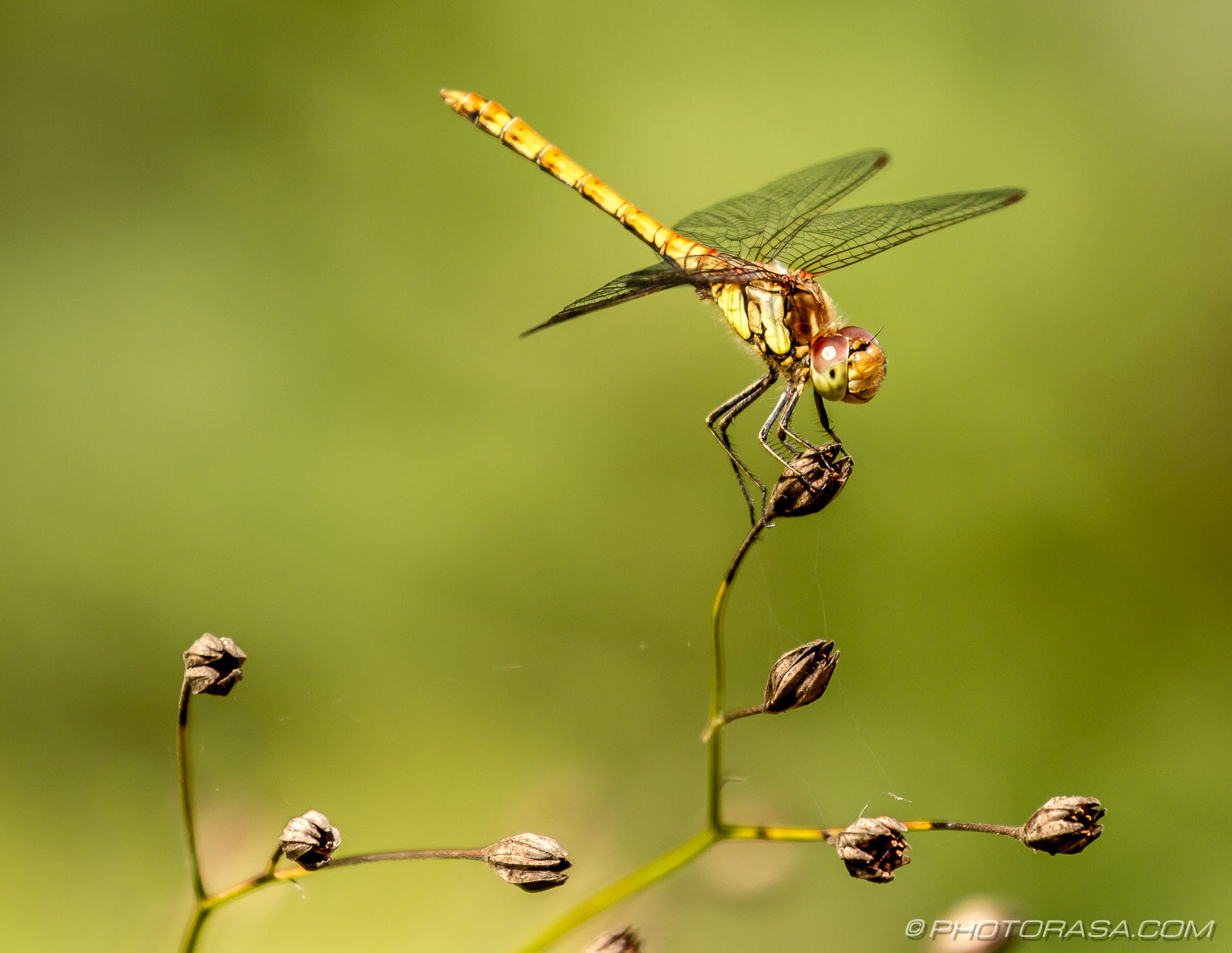 http://photorasa.com/dragonflies/female-common-darter-perched-on-plant-3/