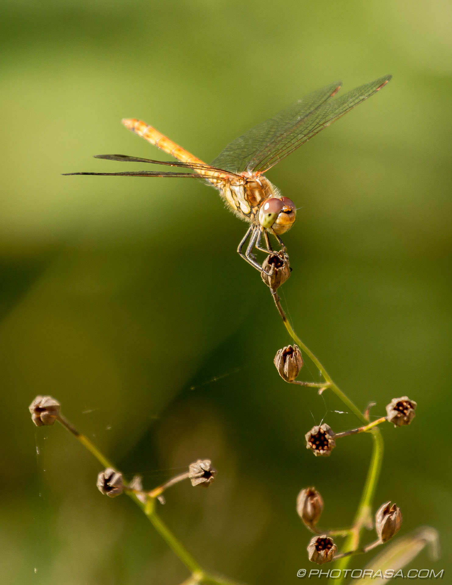 http://photorasa.com/dragonflies/female-common-darter-perched-on-plant/