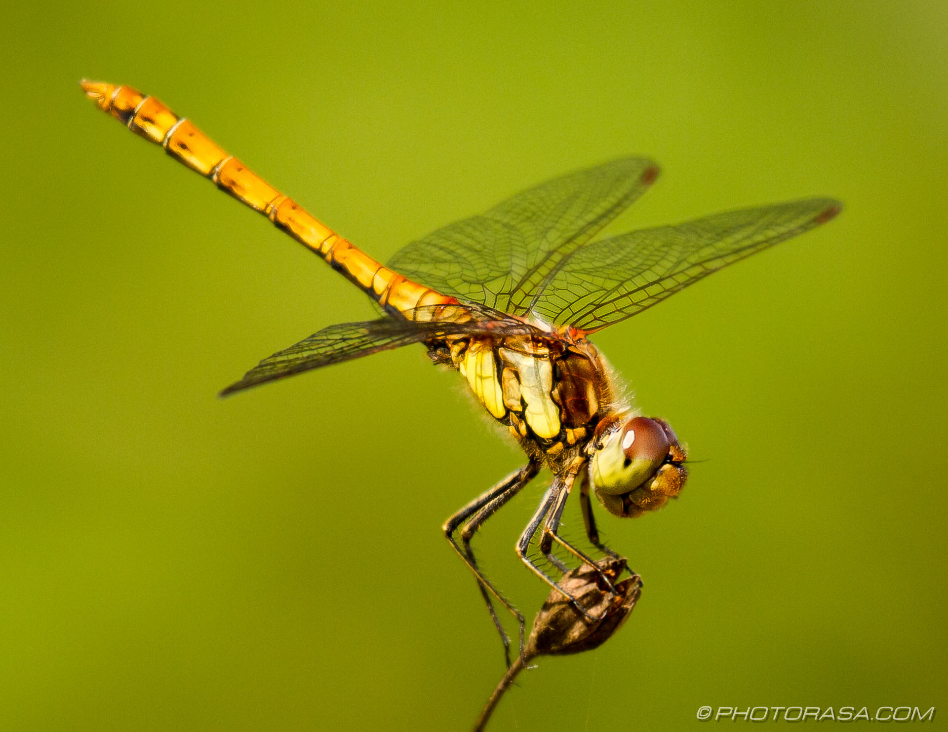 http://photorasa.com/dragonflies/female-common-darter/