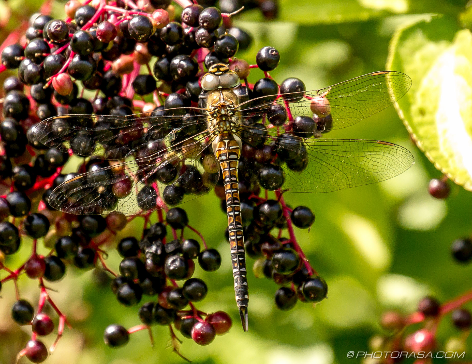 https://photorasa.com/dragonflies/female-migrant-hawker/