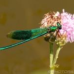 green demoiselle