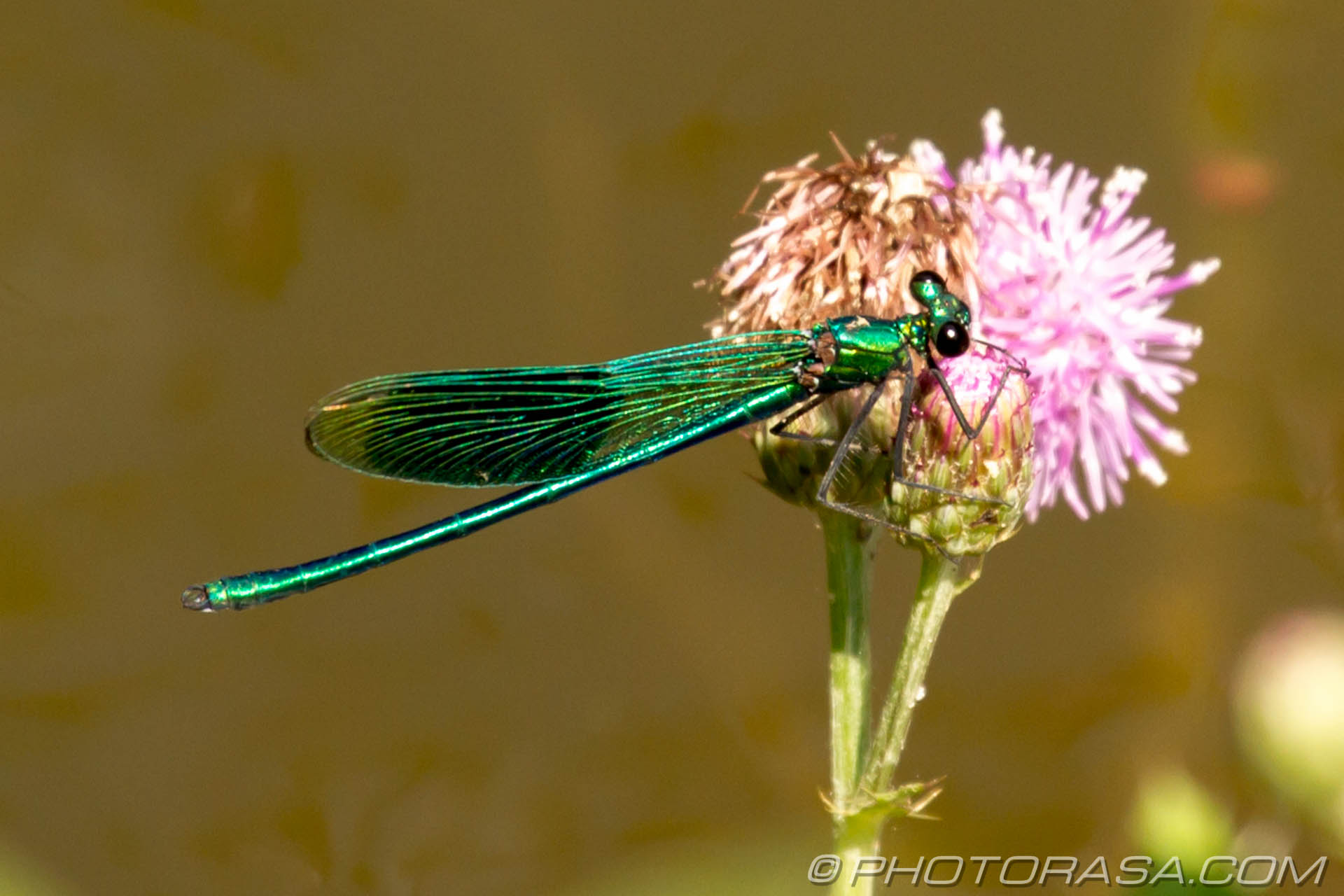 http://photorasa.com/damselflies/green-demoiselle/