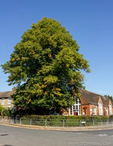 large oak tree outside school