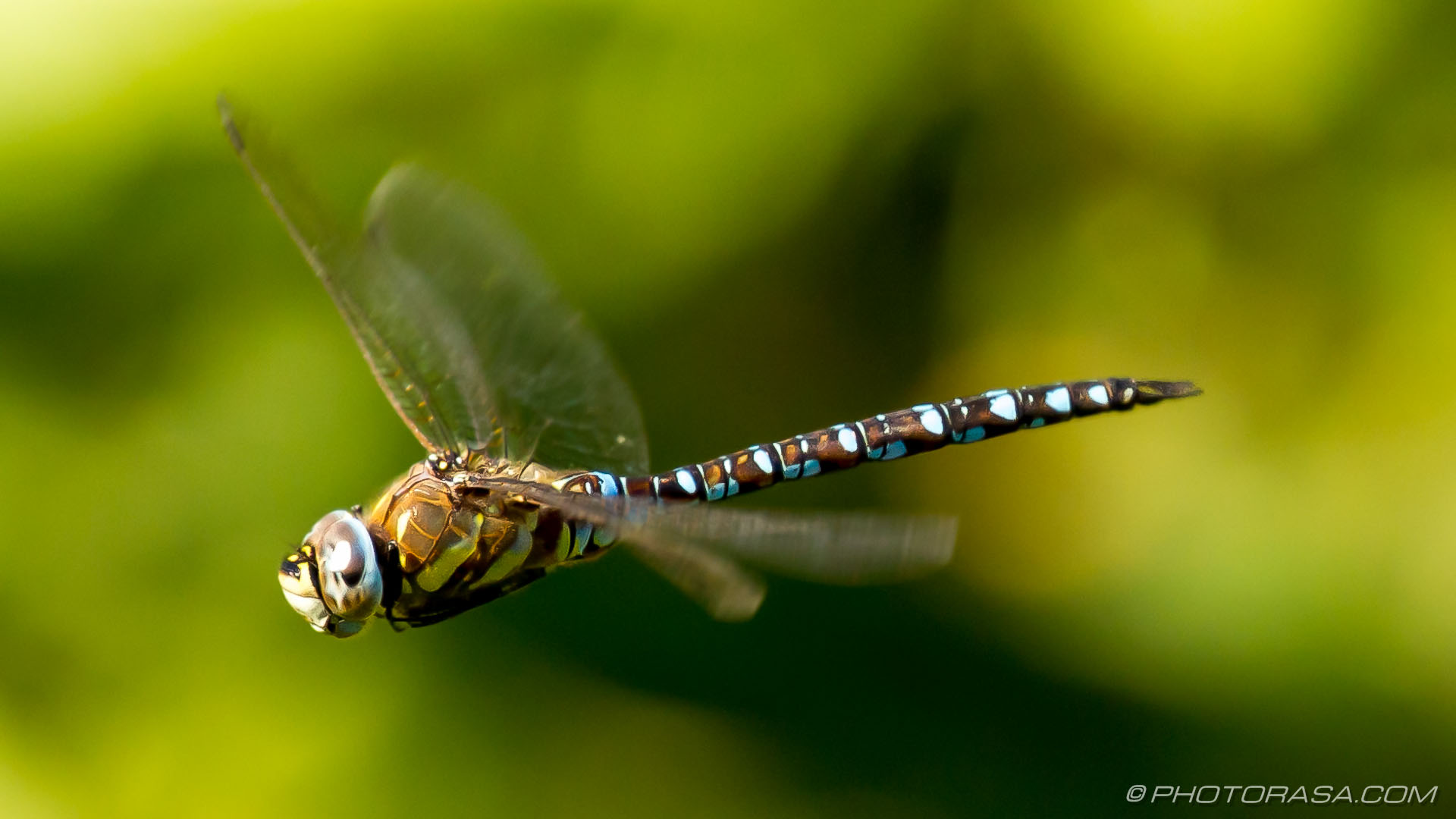 http://photorasa.com/dragonflies/male-migrant-hawker-dragonfly-hovering-straight-winged/