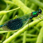 metallic green banded demoiselle