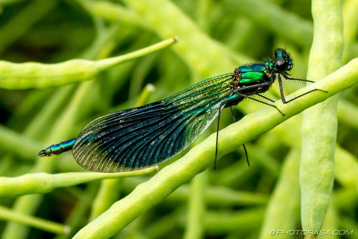 metallic green banded demoiselle