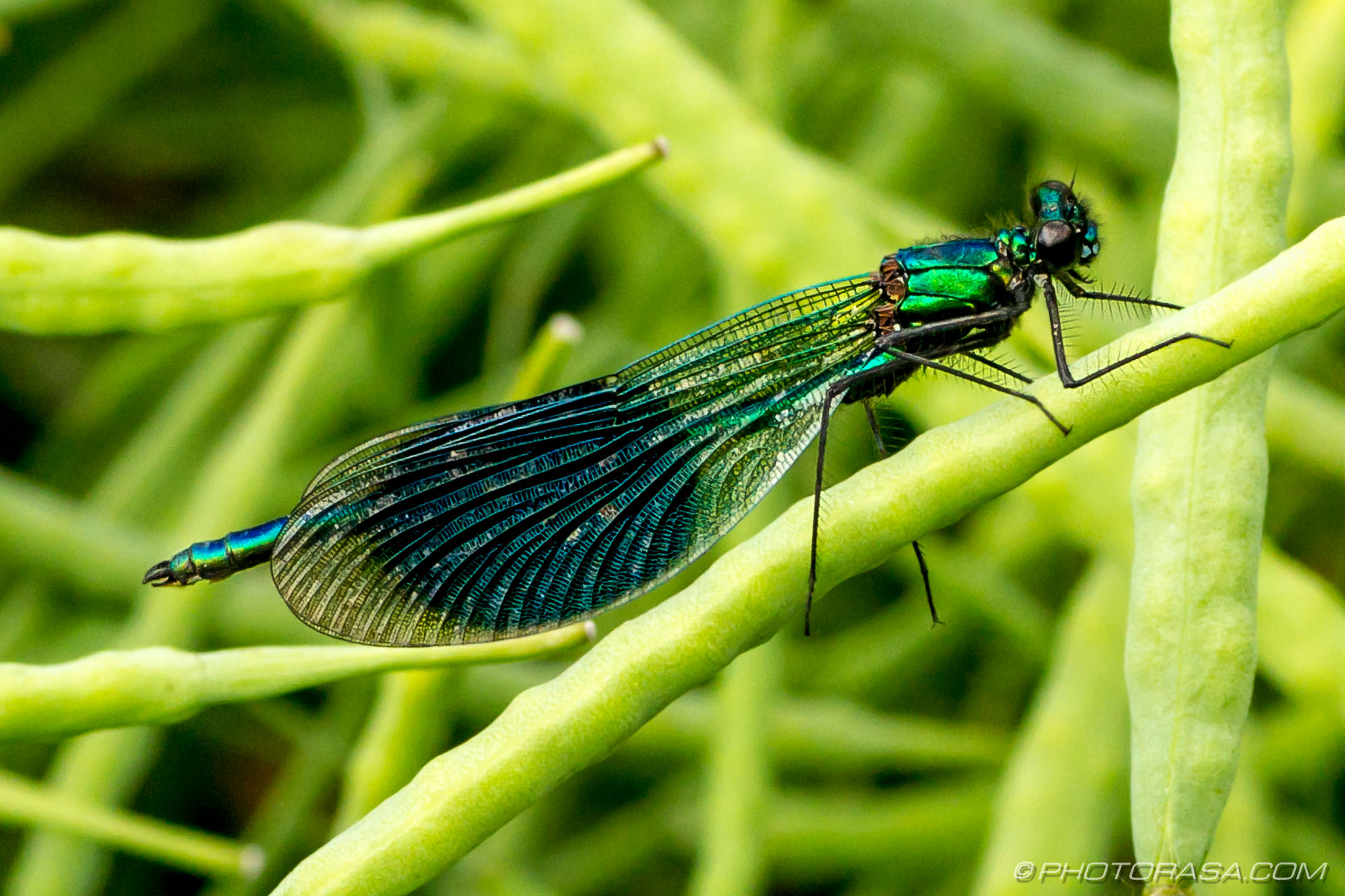 http://photorasa.com/damselflies/metallic-green-banded-demoiselle/