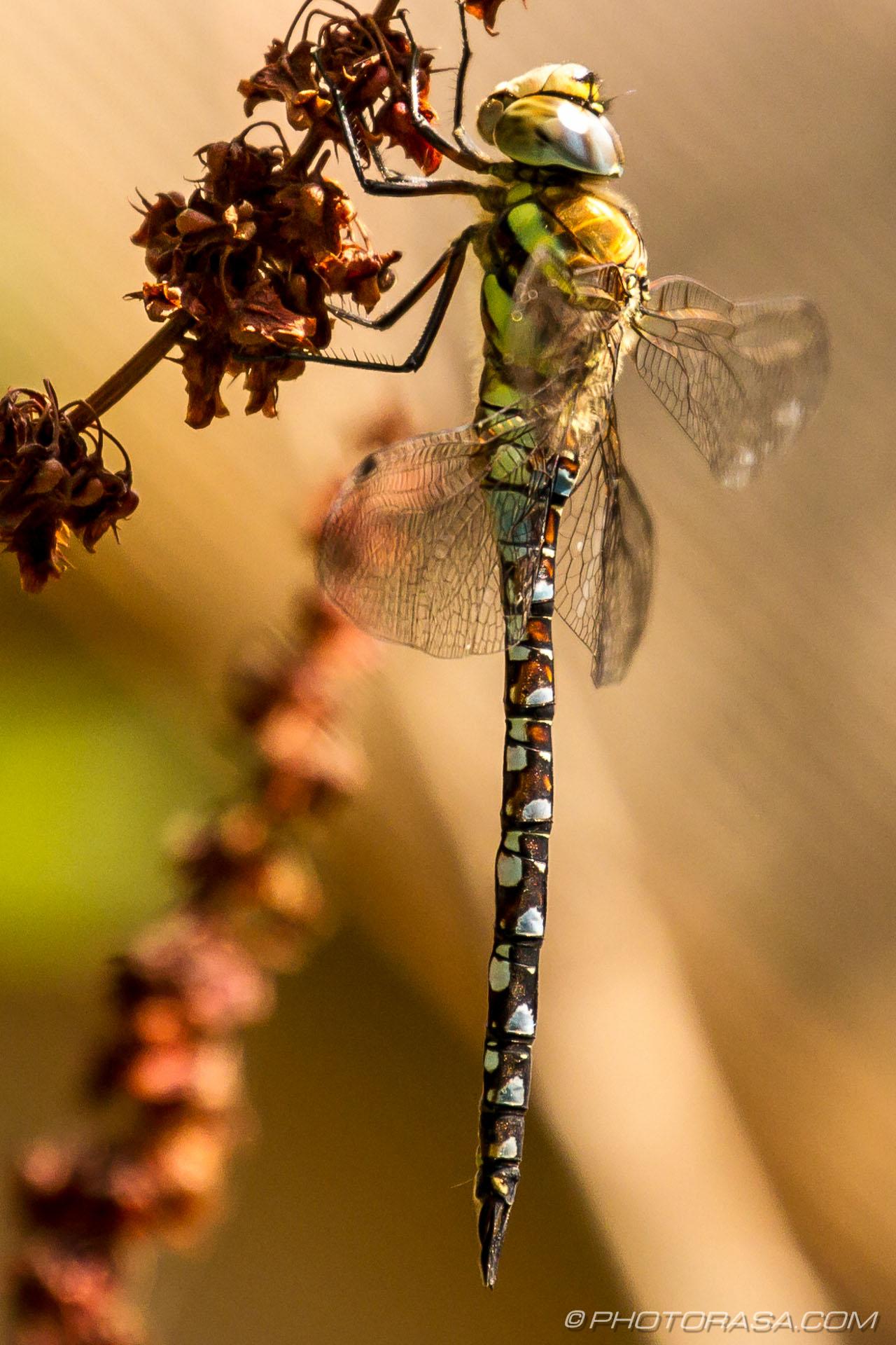 http://photorasa.com/dragonflies/migrant-hawker-dragonfly/
