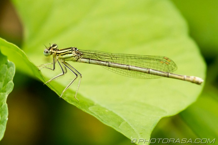 white legged damsel fly
