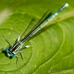 white legged damselfly