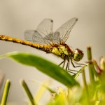 yellow dragonfly in the undergrowth