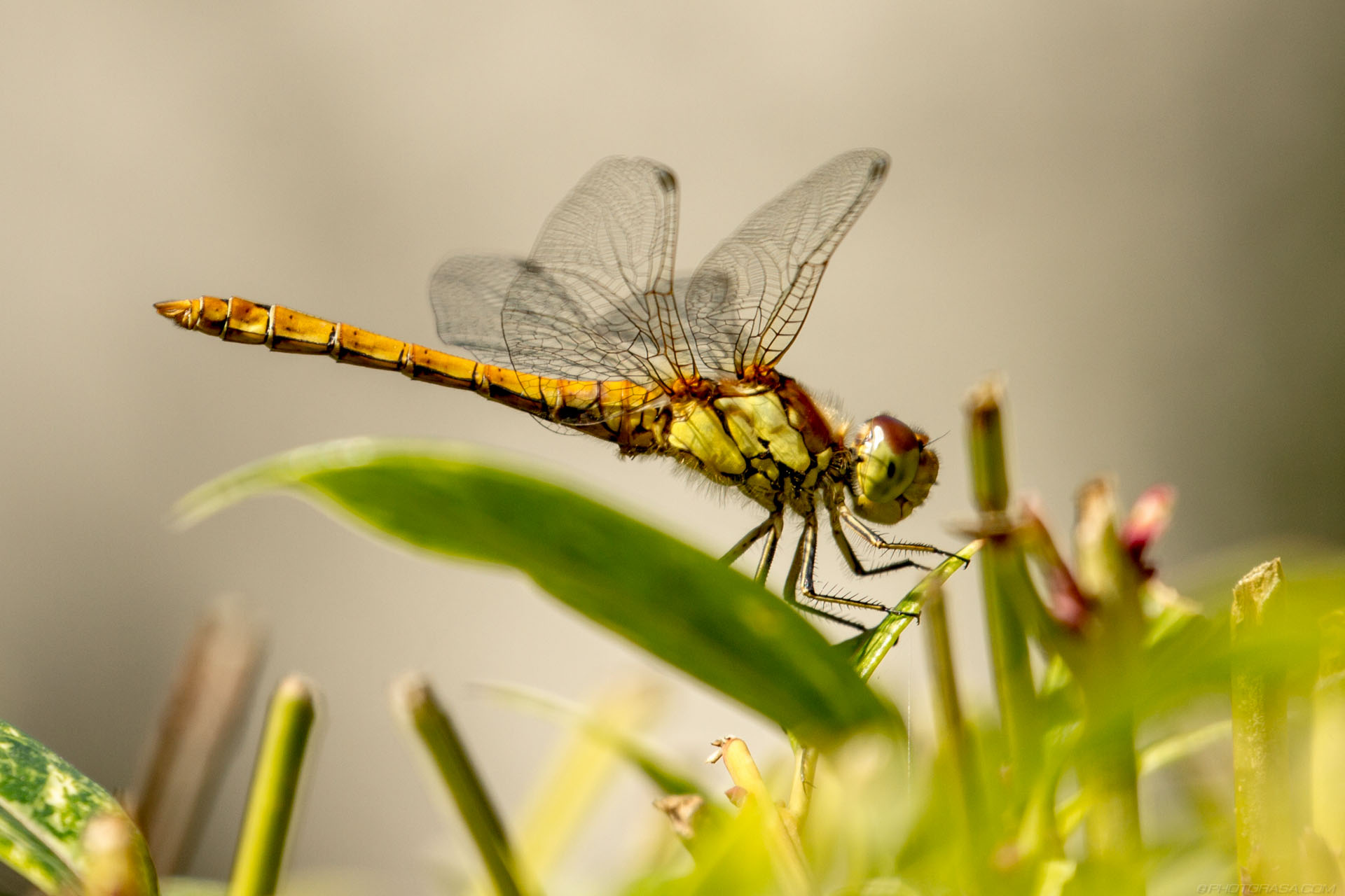 https://photorasa.com/dragonflies/yellow-dragonfly-in-the-undergrowth/