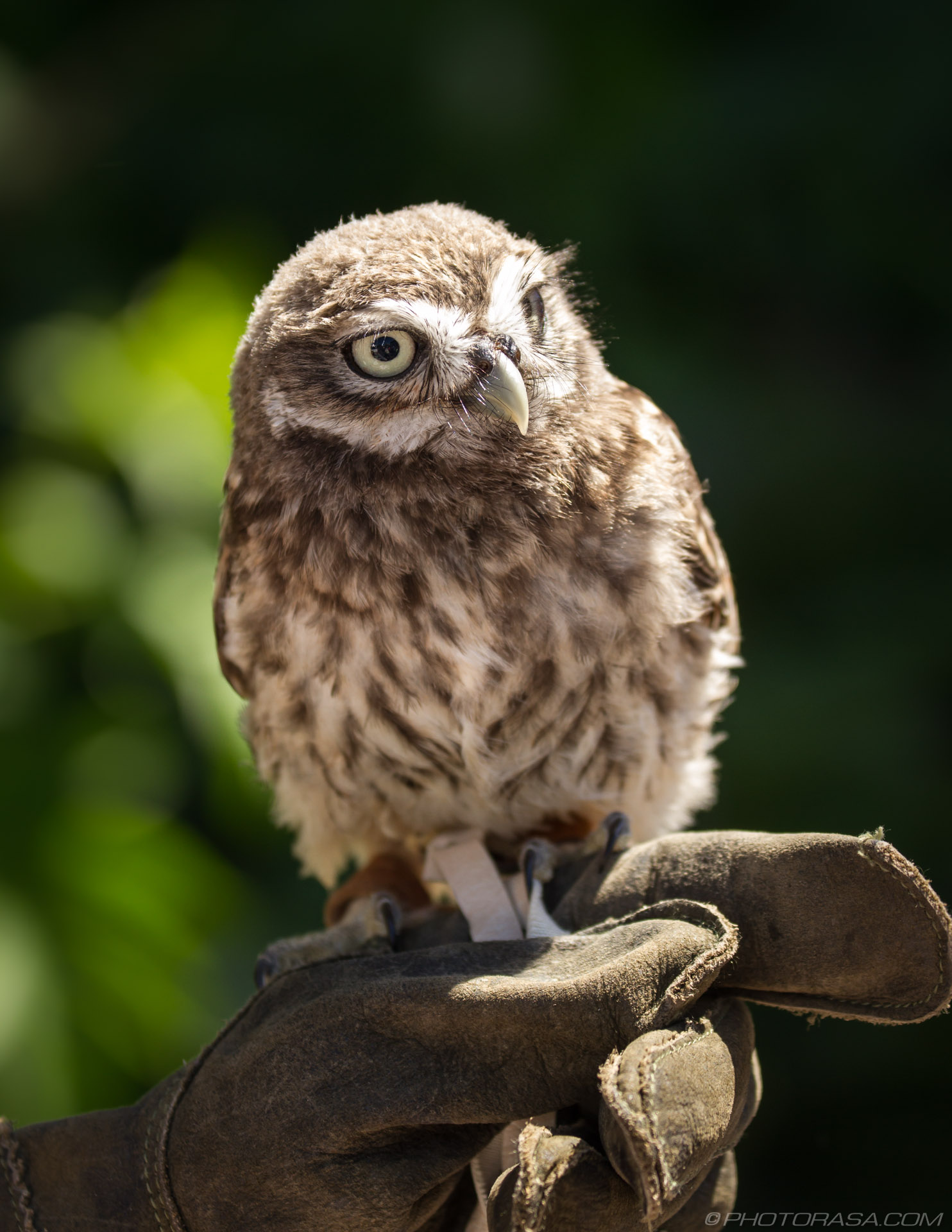 https://photorasa.com/owls/baby-owl/