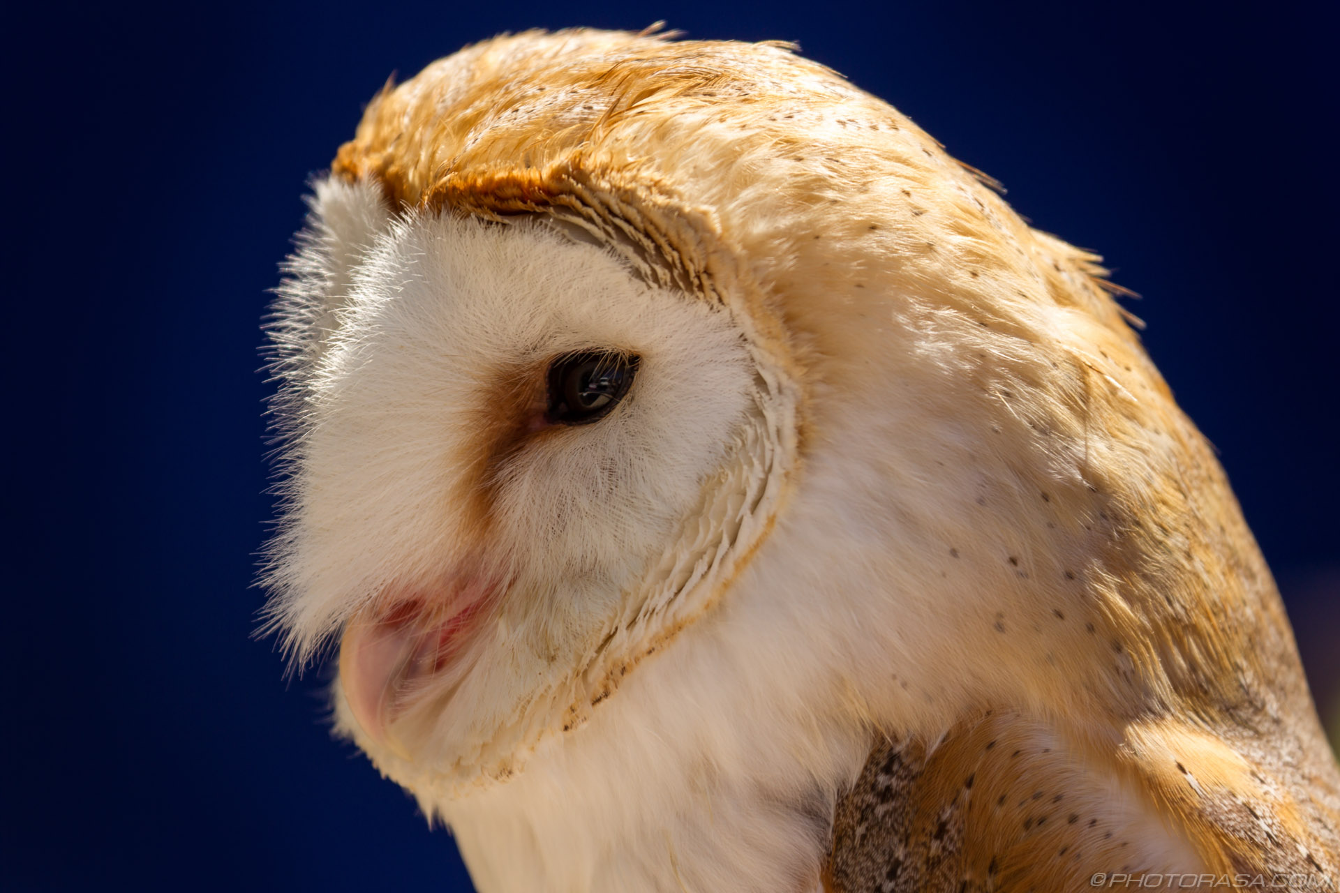 https://photorasa.com/owls/barn-owl-1/