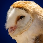 barn owl head close up