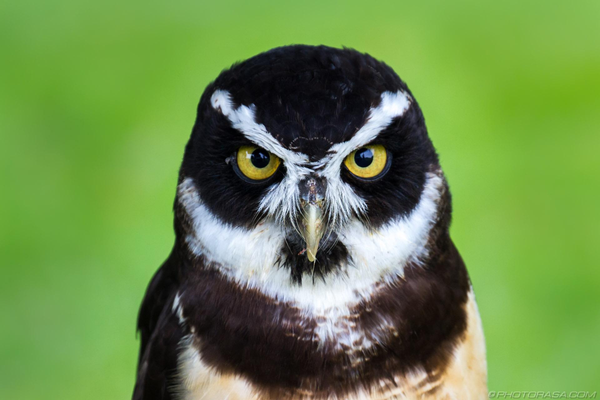 https://photorasa.com/owls/black-and-white-owl-1/