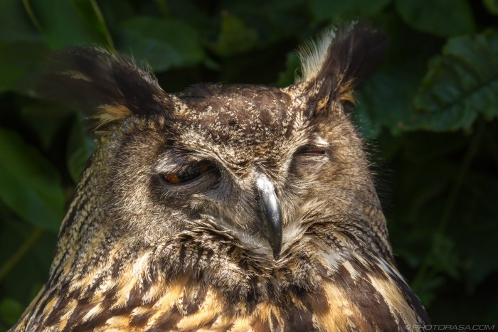 european eagle owl wiith one eye open
