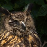 european eagle owl with eyes closed