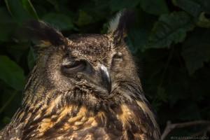 european eagle owl with eyes closed