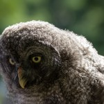 grey fluffy owl