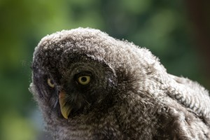 grey fluffy owl