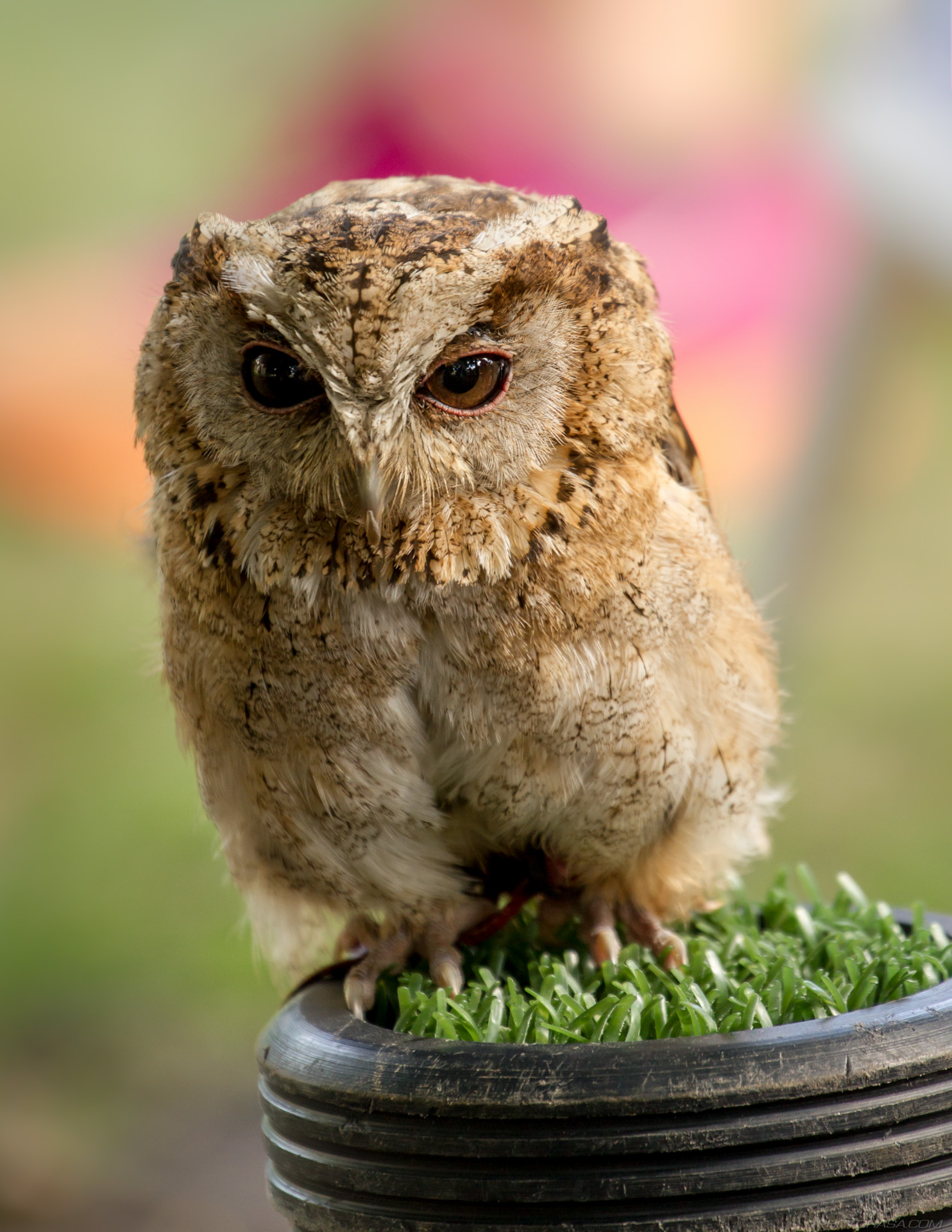 https://photorasa.com/owls/juvenile-fluffy-little-owl/