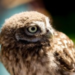 little owl turning head