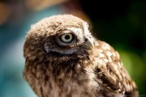 little owl turning head