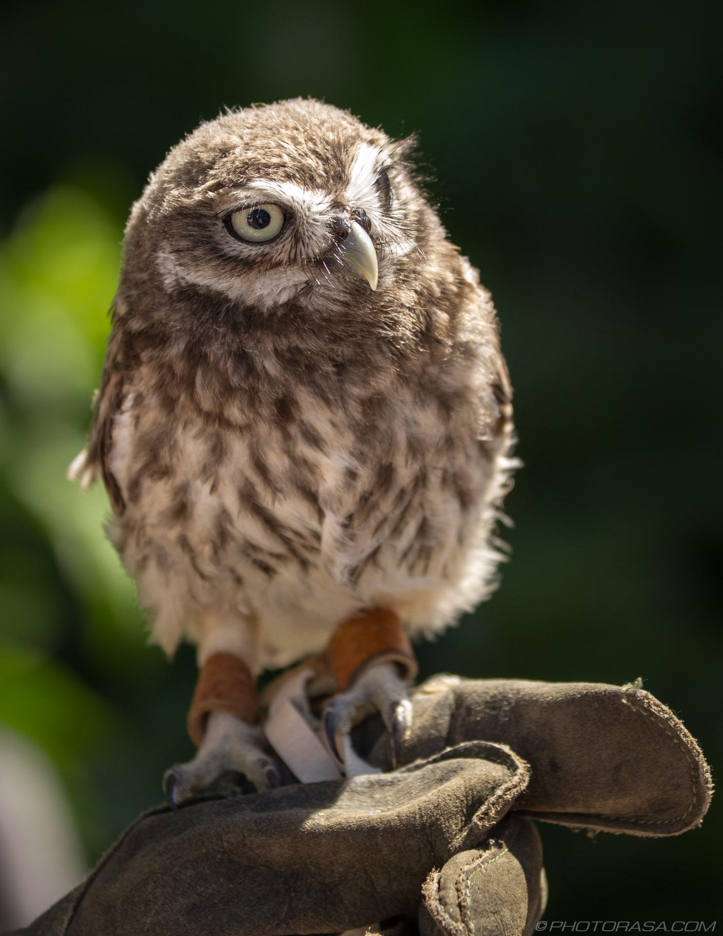 https://photorasa.com/owls/little-owl-3/