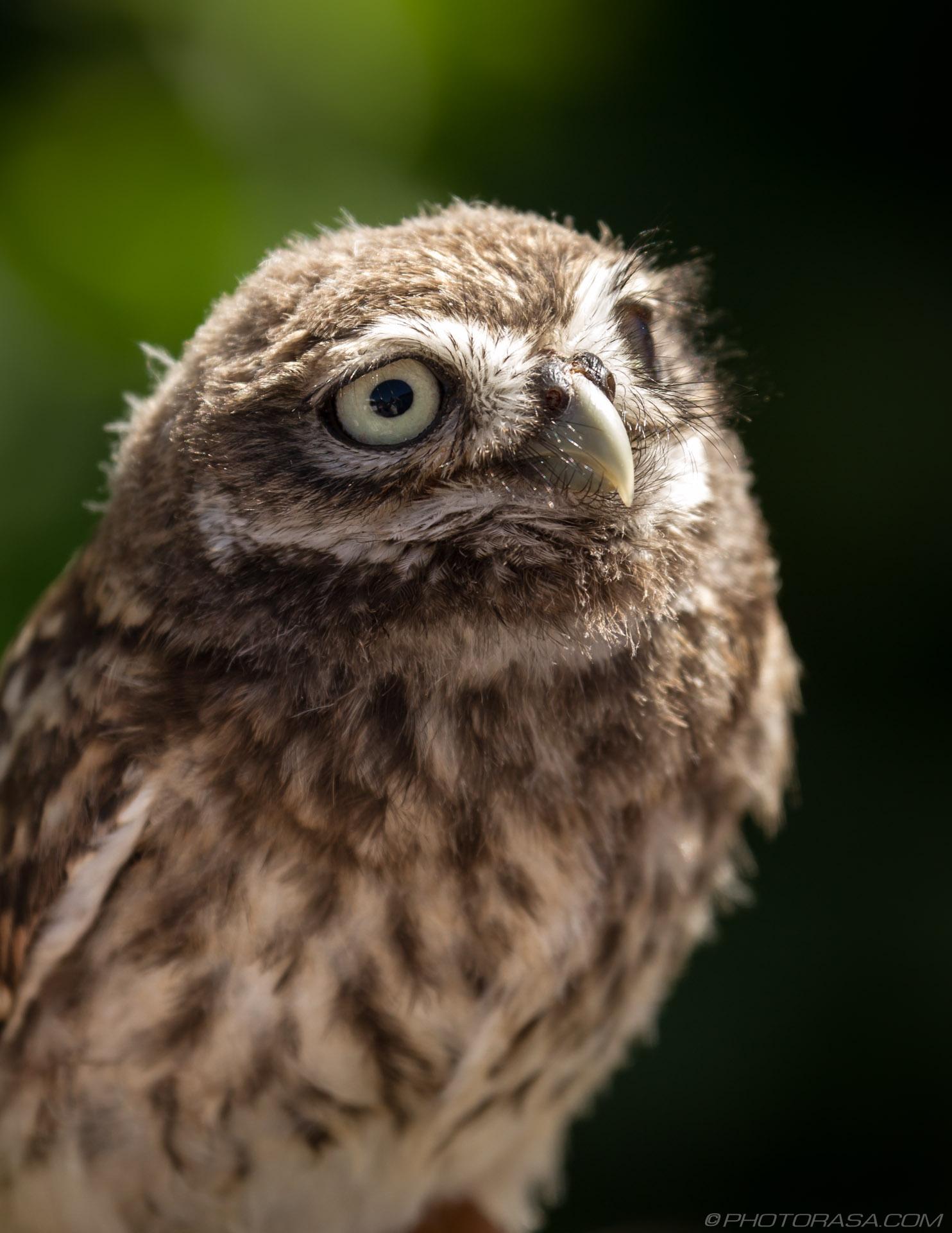 https://photorasa.com/owls/little-owl-6/