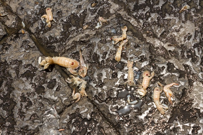 dead shrimp