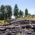 dead tree trunks and lava rock